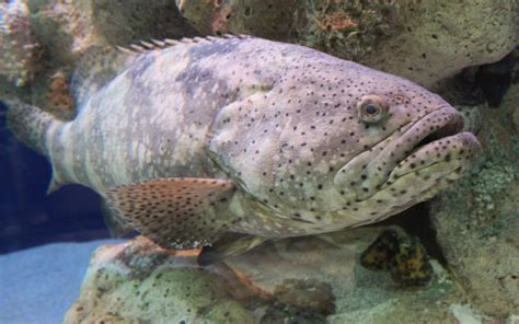 grouper catch species goliath
