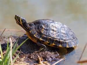 Le Pour Tortue De Floride tortue de floride