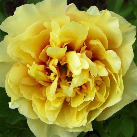 Peonija `Garden Treasure`