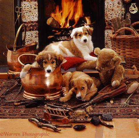 dogs for fireplaces dogs border collie pups by fireplace photo wp08722