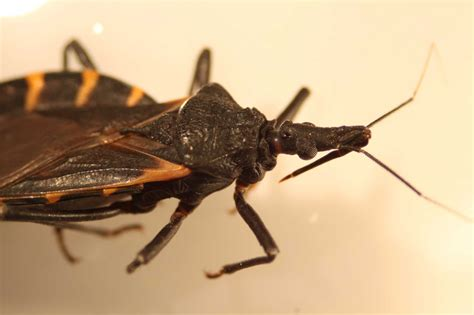 deadly kissing bug spreads bites    sleep san