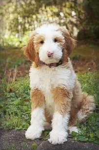 Golden Mini Goldendoodle Puppies
