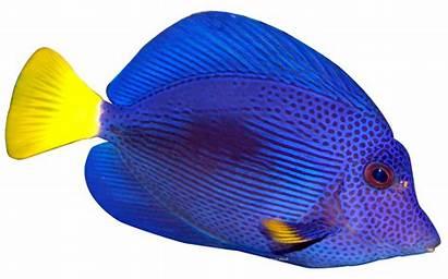 Fish Clipart Tang Tropical Transparent Angel Coral
