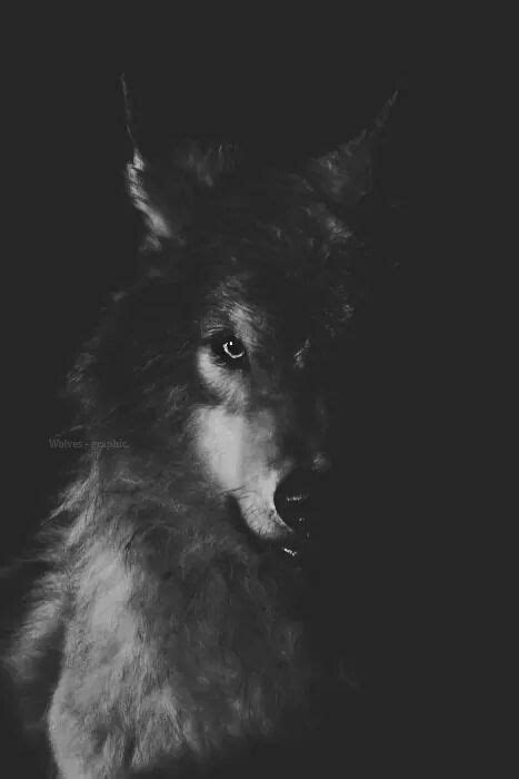Black Wolf Quotes Wallpaper by Wolf Picture With Black Background Wolf Wallpaper Wolf