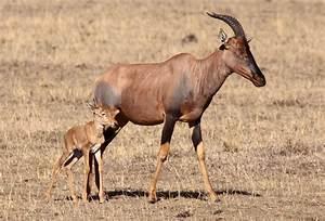 Afrikan Antilope : antelope wallpapers backgrounds ~ A.2002-acura-tl-radio.info Haus und Dekorationen