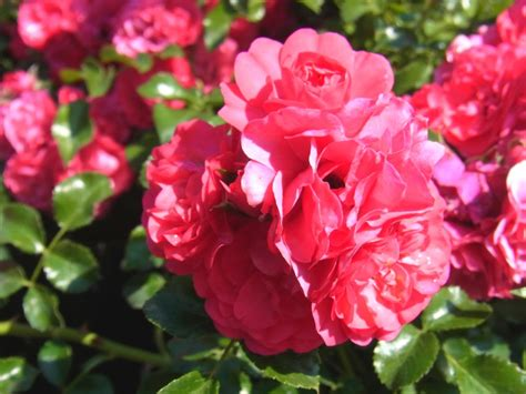 gartentraum flessau bodendeckerrose rosa gaertnerfreude