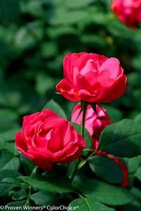 easy landscape rosa proven winners