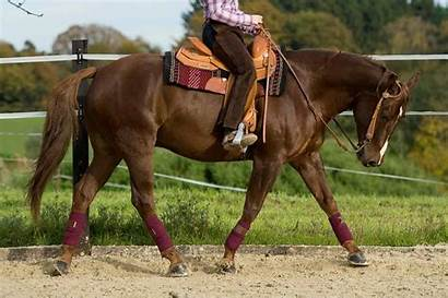 Horses Muscular Horse Muscle Disorders Quarter Equine