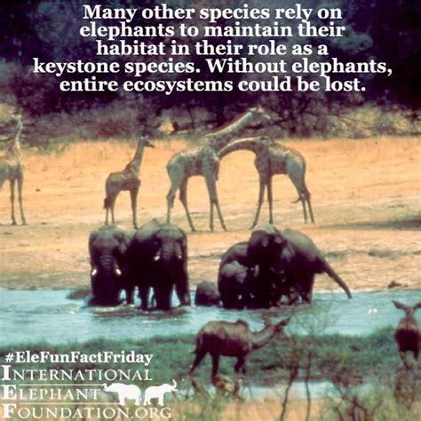 species keystone elephant african role