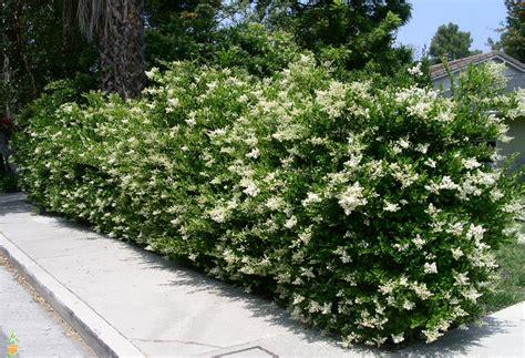 privet hedge wavy leaf ligustrum japanese privet for sale the planting tree