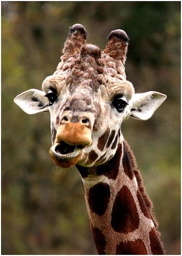 animal  funny giraffe