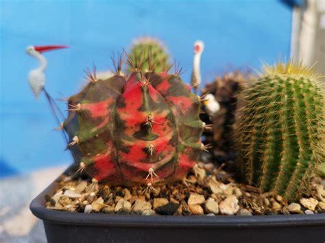 ปลูกแคคตัส ยิมโนด่าง Gymnocalycium variegated by Touronthai Blogger