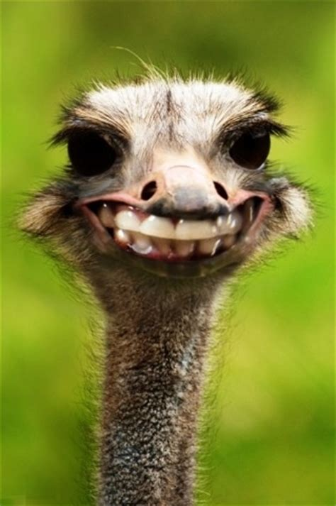 38 Best Images About Ostrichfunny Faces ** On