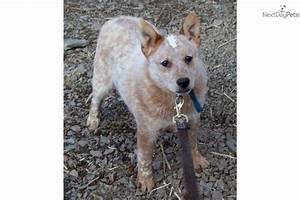 Australian Cattle Dog/Blue Heeler puppy for sale near Bend ...