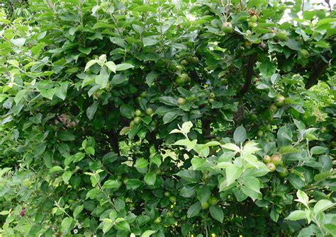 Apfel Botanischer Garten Hamburg by Nutzgarten Bauerngarten Mit Apfelbaumhecke Goldparm 228 Ne Zum