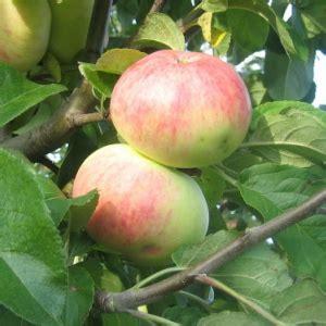 MARTSIPAN - Vasaras ābele
