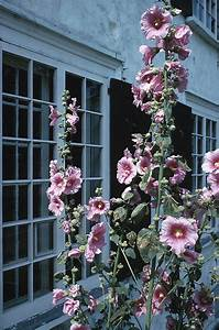 Seasonal Calendar Hollyhocks Old Farmer 39 S Almanac