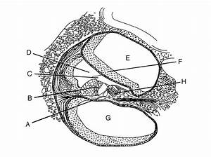 Ear Diagram Labeling Quiz