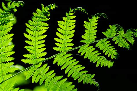 piante da appartamento la felce coltivazione  cura