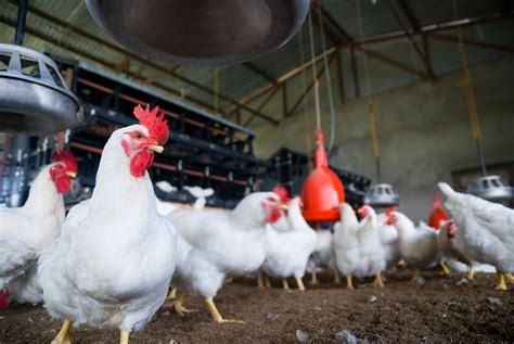 chicken farm start a chicken broiler business raise chickens for meat