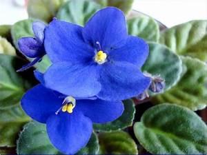 violets   Blue Violet   Flower Meaning & Meaning Of Flower ...