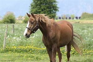 Morab Horse Breed Information And Pictures