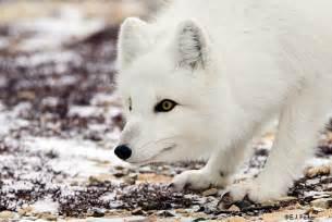 Tundra Biome Arctic Fox