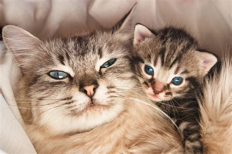 cat pregnancy guidelines to good health for your pregnant cat cat health catloversdiary com
