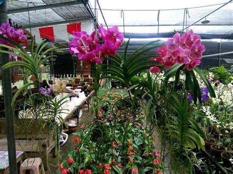 jual anggrek vanda thailand bunga bibit kembang tanaman