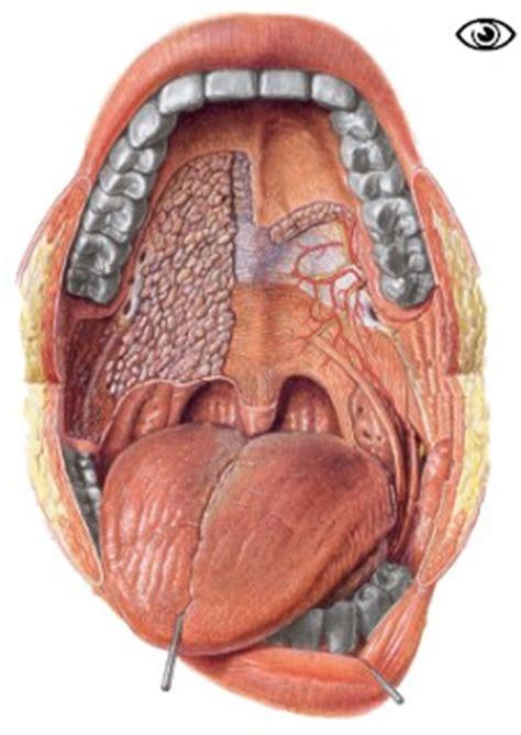 interieur de la bouche la bouche la porte du syst 232 me digestif