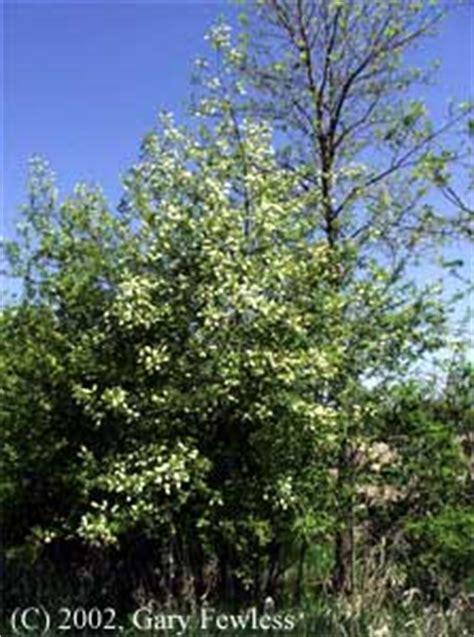 trees  wisconsin prunus virginiana chokecherry