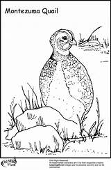 Quail Coloring Pages Bird Ministerofbeans Chicken sketch template