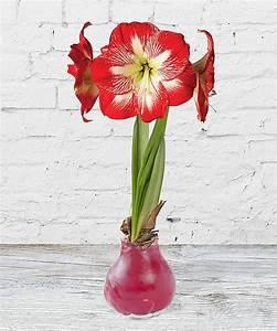 Amaryllis In Wachs : wax amaryllis rot und xmas goldtraum piccolo jetzt ~ Lizthompson.info Haus und Dekorationen