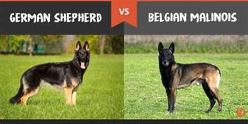 Belgian Malinois Vs German Shepherd Shedding by Belgian Malinois Difference German Shepherd Breeds
