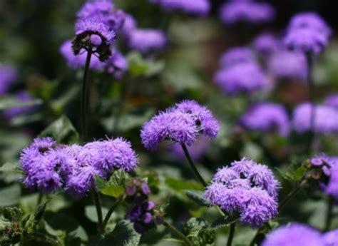 uv le für pflanzen saatgut samen blauvioletter leberbalsam ageratum