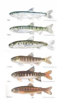 Chinook Salmon Smolt Identification