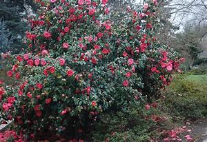 Camellia Japonica Winterhart : camellia japonica oregon state univ landscape plants ~ Eleganceandgraceweddings.com Haus und Dekorationen
