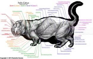 anatomy of a cat munchkin cat anatomy by thedragonofdoom on deviantart