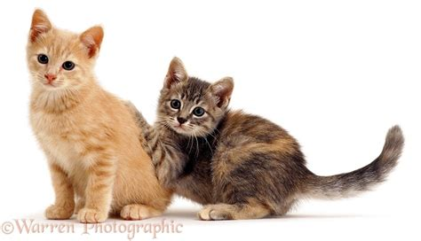 Two Playful Kittens Photo Wp00888