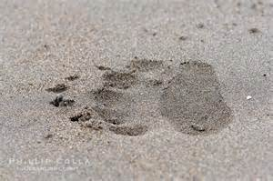 Brown Bear Paw Prints