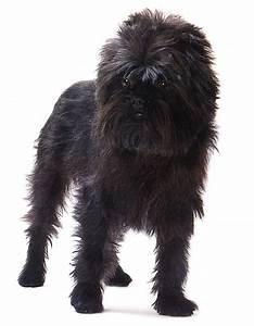 affenpinscher, -, dogs, breeds