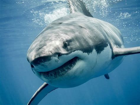 uk swimmers warned   vigilant  giant sharks spotted