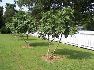 Quand Planter Lavande Dans Jardin : quand planter figuier pleine terre ~ Dode.kayakingforconservation.com Idées de Décoration