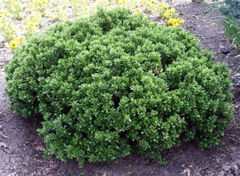 small shrubs berberis buxifolia nana small shrubs less than 1 5 m high petits arbustes inf 233 rieur 224 1