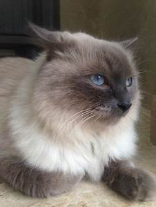 Himalayan  Cat  Facts For Kids