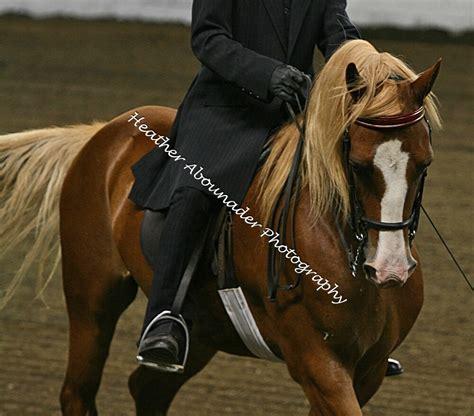 horse beginners horses morgan breeds heather palomino breed