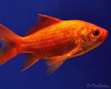 pond goldfish  sale aquariumfishnet