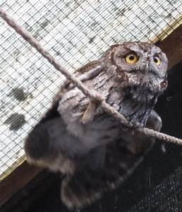 Screech Owl Trapped in Chimney for Five Days Flies Free ...