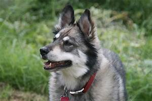 15 Best Husky Mix German Shepherd Images And Photos