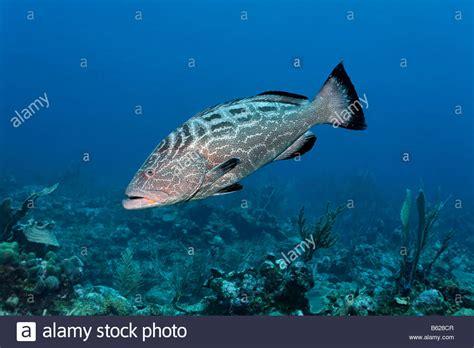 grouper reef fish swimming mycteroperca bonaci coral barrier knochenfisch alamy schwimmen korallenriff fische einem shopping cart beute suche nach ueber